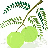 Free Gooseberry With Leaf Illustration